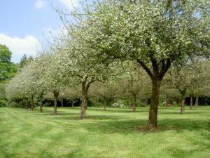 Vergers du Kinkiz en fleurs