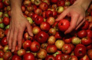 Récolte des pommes pour la cidrerie